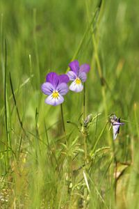 Wildflower: johnny- jump- up