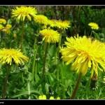 Foraging for Dandelion greens