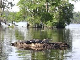 alligator in bayou