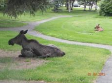 moose love you yard