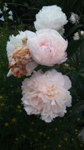 Peony in various stages of bloom