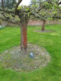 Blenheim Orange, Berrington Hall