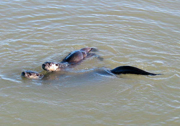 Two of the otters at McBeth Point
