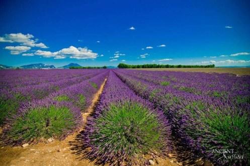 lavender-provence-garden-winter
