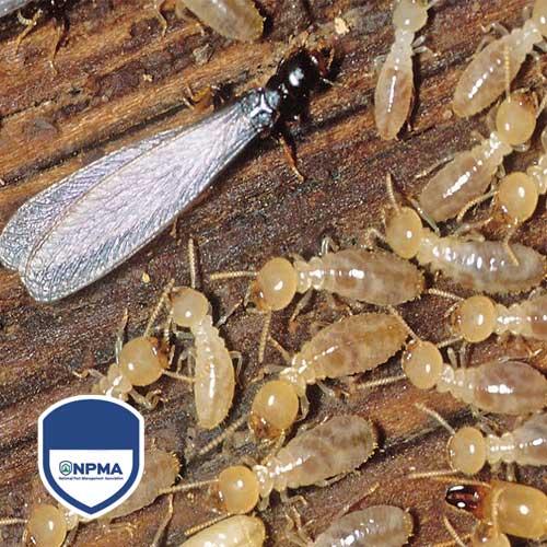 blog-termitas