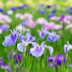 美しい、アイリスの花、夏