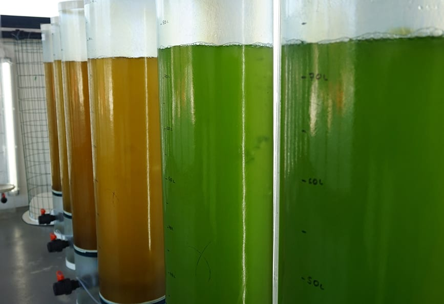 microalgae-algared