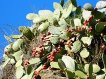 Cosa vedere Sierra Nevada_Granada_Andalusia_chumbera