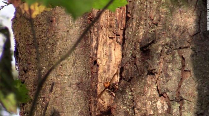 Primer nido de 'avispones asesinos' encontrado en EE.UU. fue eliminado con éxito