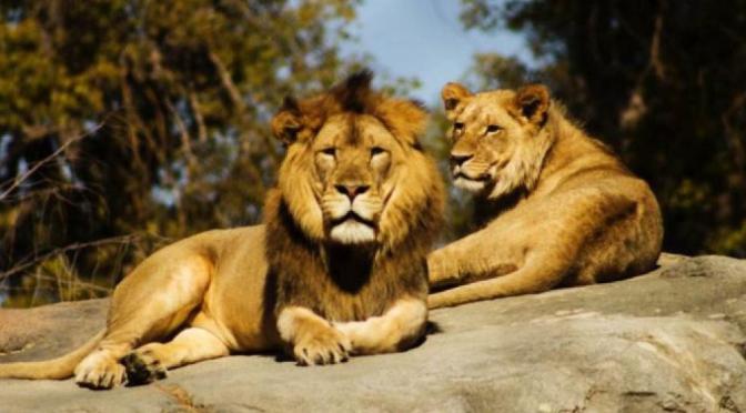 India: Ocho leones dan positivo a Covid-19