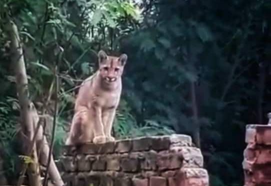Avistan a un puma paseando por Villa Montes