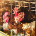 Veďme deti k humánnosti, jedzme zdravé vajcia
