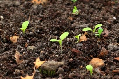 Redleaf Lettuce Seedlings