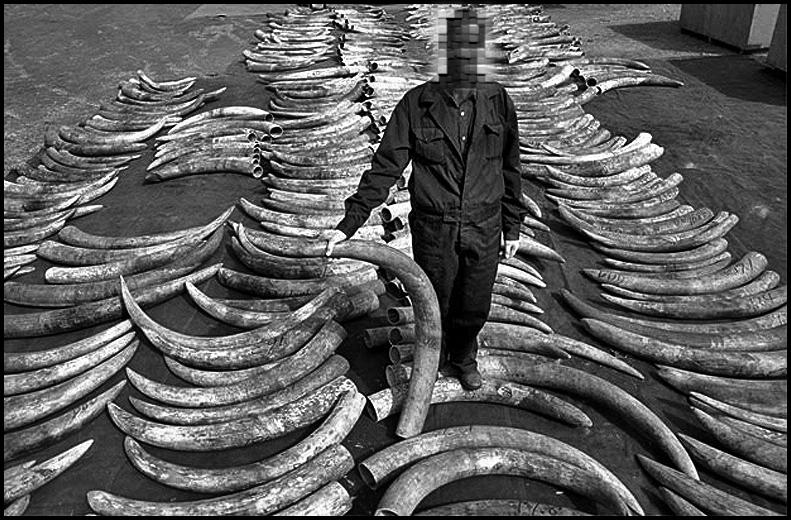 Nacen elefantes sin colmillos en África (5/5)