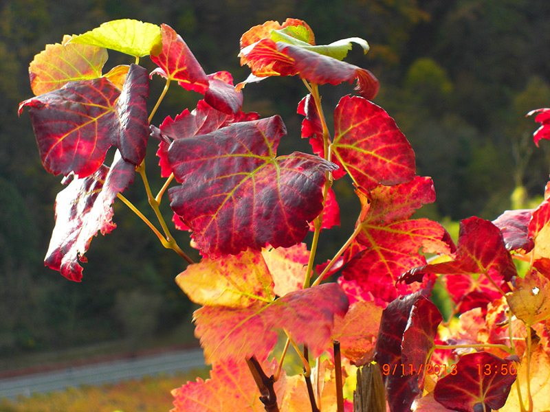 Feurige Farben verwandeln das Weinlaub in ein Fest für das Auge (Foto: H.-J. Schneider)