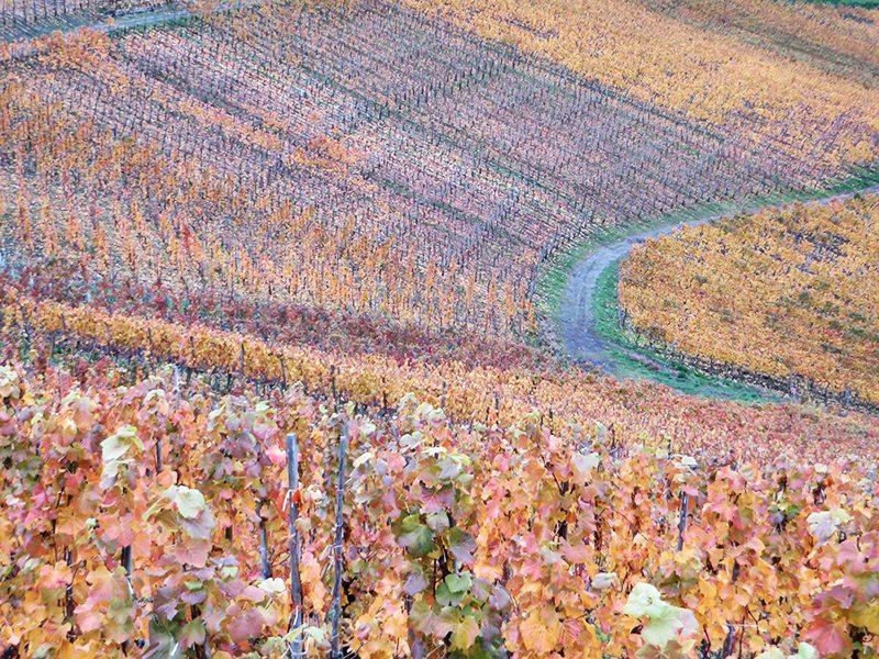 Weinberg, Herbstfarben: Farbenpracht unterhalb der Saffenburg – wenn auch schon ein wenig stumpf geworden (Foto: Hans-Joachim Schneider)