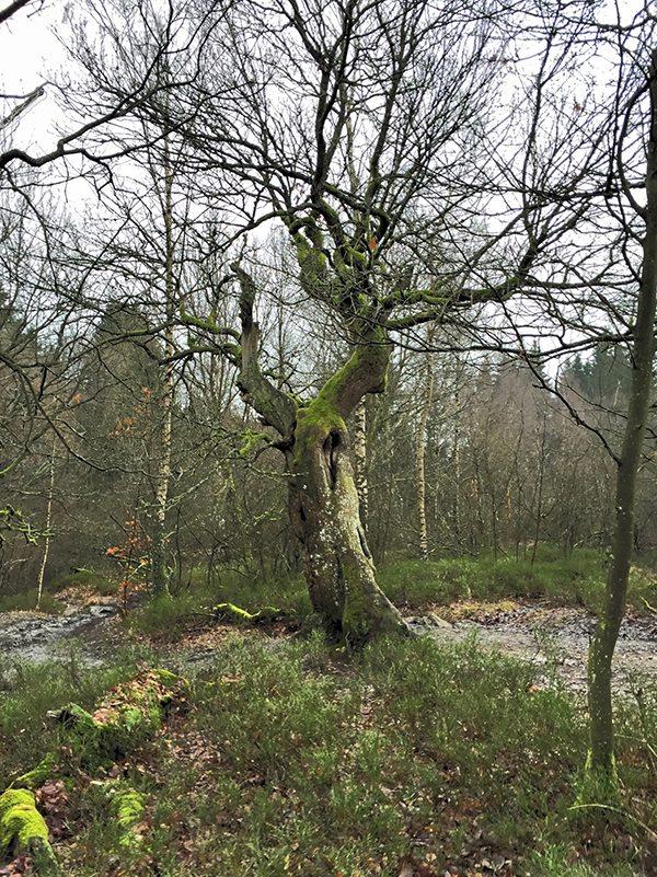 Hier steht ein Foto mit dem Titel: Die Alte Eiche. Leider konnte ich ihr Alter nicht herausfinden (Foto: Hans-Joachim Schneider)