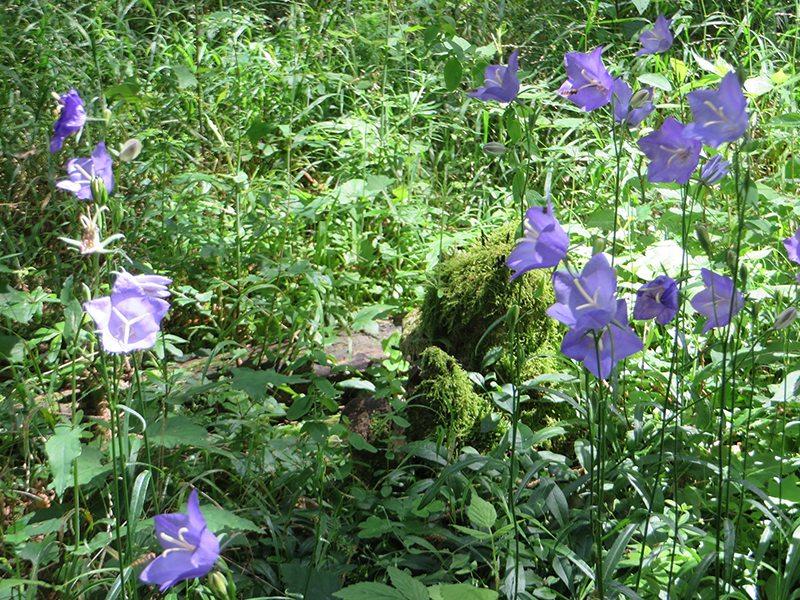 Selbst im Wald unter Nadelbäumen blühen zwischen Farn und Brennesseln solche Blumen