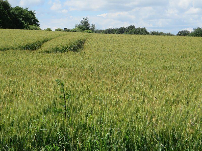 Nur mal kurz raus aus dem Wald: Der Blick schweift über die mit Getreide bestandene Hochfläche