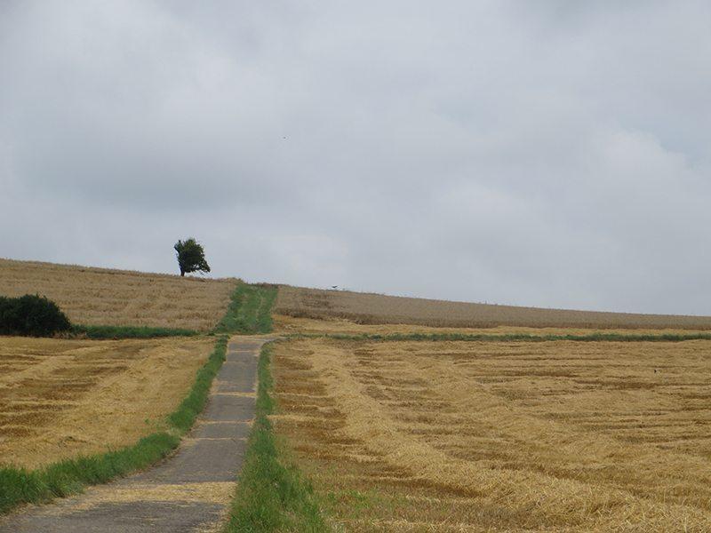 Hier steht ein Bild mlt dem Titel: Sommer, Erntezeit auf der obersten Rheinterrasse (Foto; Hans-Joachim Schneider)