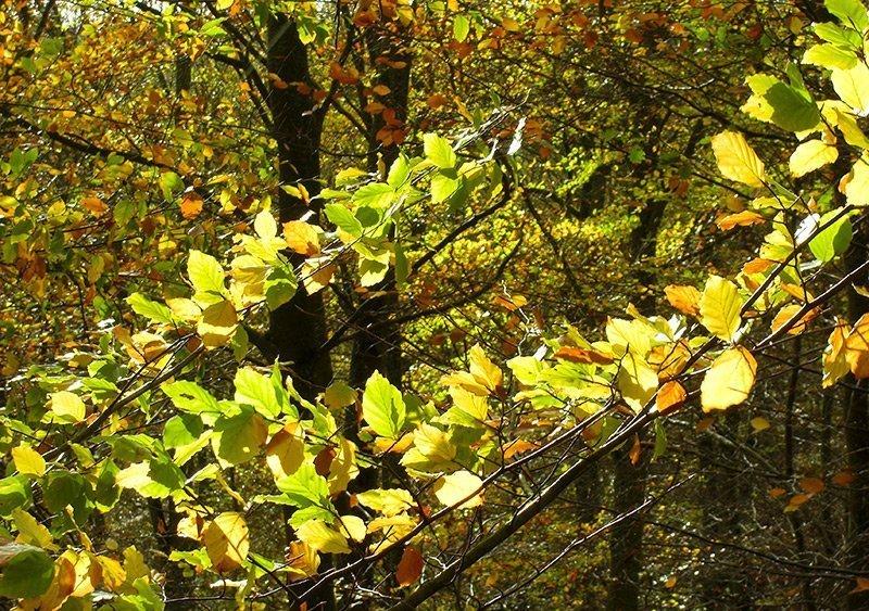 Ein Buchenzweig im matten Novemberlicht