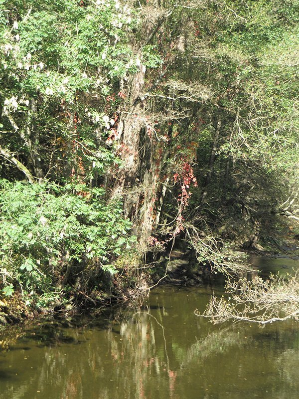 Ein kleiner Fluss, die Ahr, dahinter fast dschungelartige Ranken
