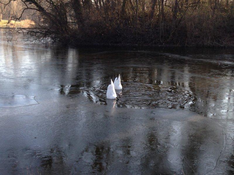 Schwäne, die mit dem Kopf im Wasser stecken.