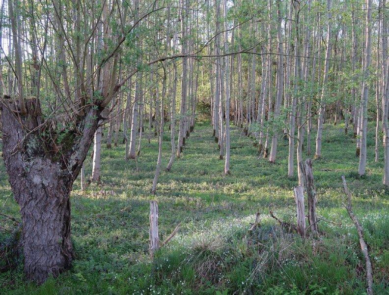 Junge Bäume, in geraden Reihen gepflanzt, Hinweise auf Renaturierung im Himmelmoor