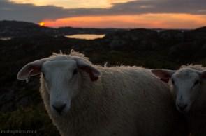 En sau i solnedgang