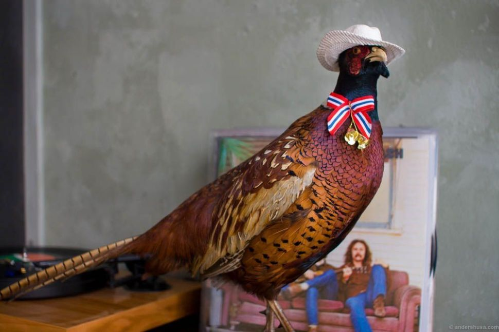 Frank the pheasant in his happy days of freedom.