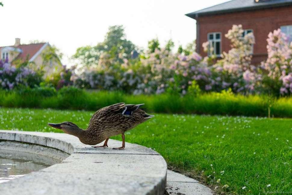 A duck preparing for a morning bath.
