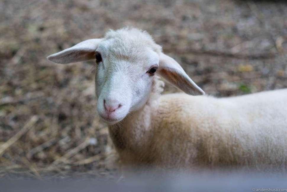 Lambs in the backyard of Taubenkobel