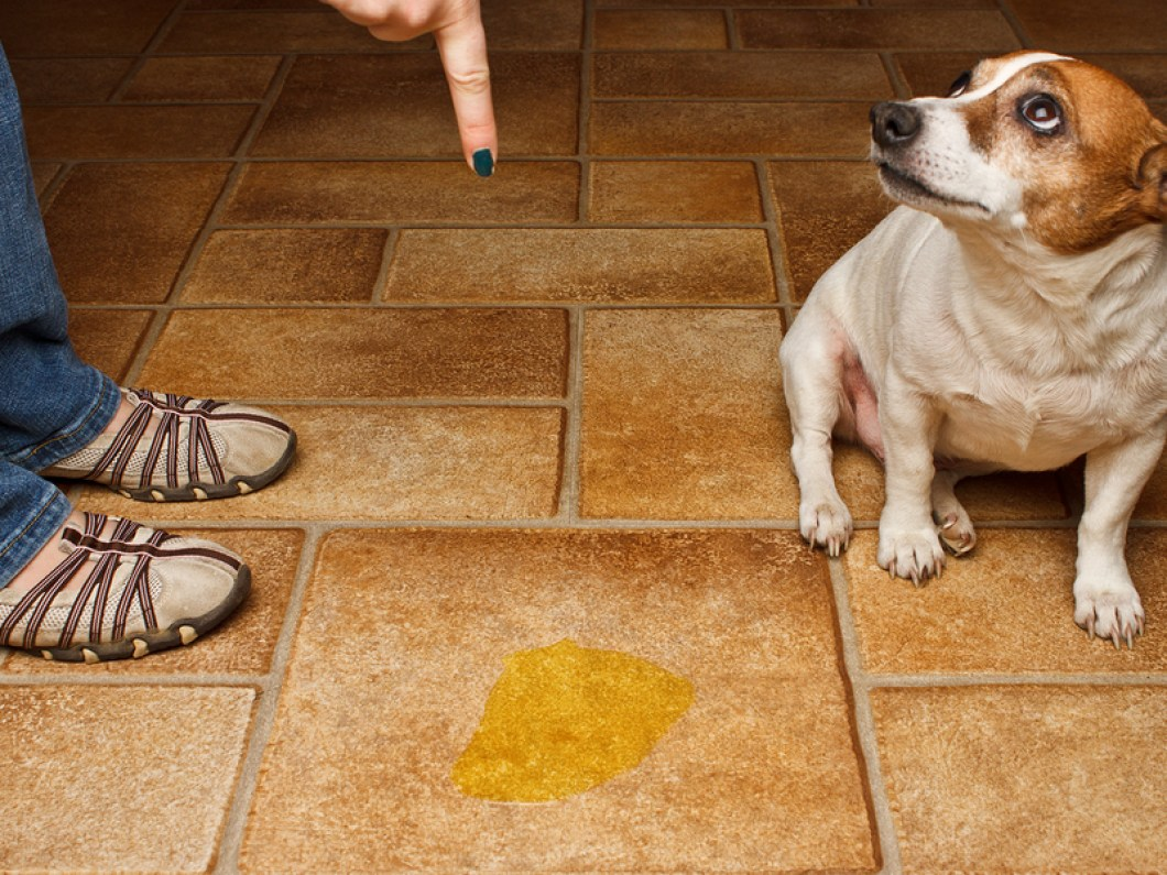 How To Get Dog Pee Out Of Carpet And Padding