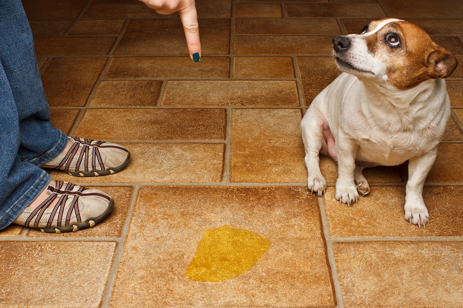 Image Result For How To Get Dog Urine Smell Out Of Carpet Pad