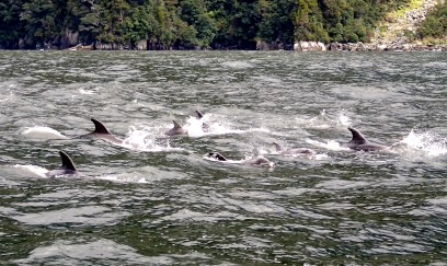 Bottlenose dolphins in the sound.