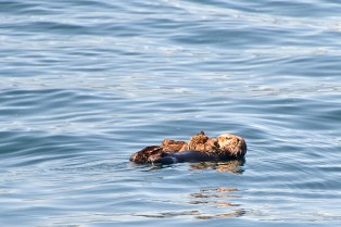 Sea otter and pup.
