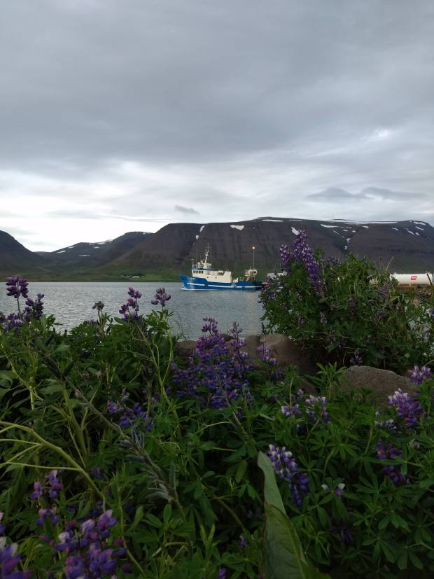 Boats in the harbor with lupines at Þingeyri West Fjords Iceland