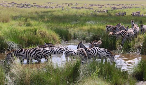 Cebras P.N Serengeti-Andorreando por el Mundo