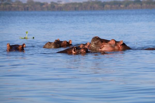 Hipopótamos Lago Naivasha-Andorreando por el Mundo