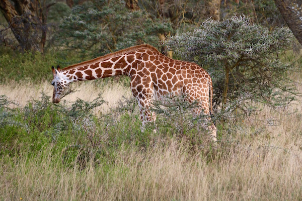 Jirafa Parque Nacional Lago Nakuru-Andorreando por el Mundo