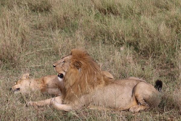 León, Leona Serengeti-Andorreando por el Mundo