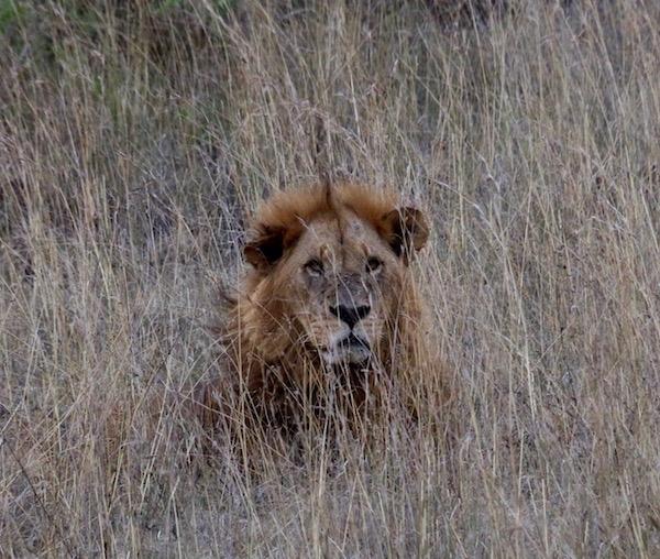 León Maasai Mara-Andorreando por el Mundo
