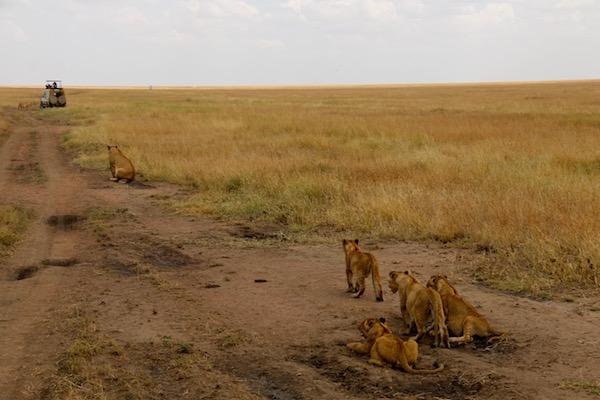 Manada Leones Serengeti-Andorreando por el Mundo