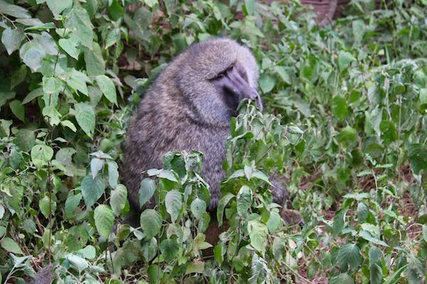 Mono Babuinos Lago Manyara-Andorreando por el Mundo
