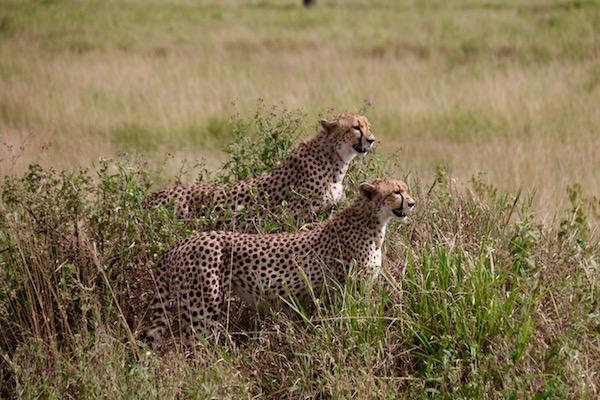 Pareja Guepardos Serengeti-Andorreando por el Mundo