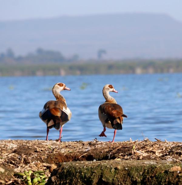Patos Lago Naivasha-Andorreando por el Mundo
