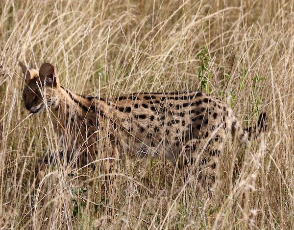 Serval Maasai Mara-Andorreando por el Mundo