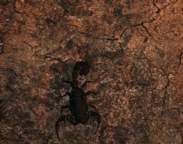 Escorpión Amazonas