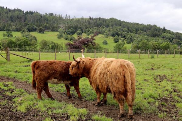 vaca Tierras Altas