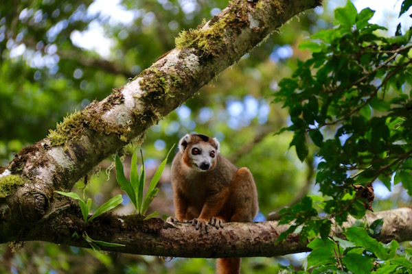 Lémur Coronado